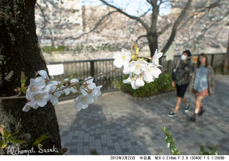 2013年桜DSC04928