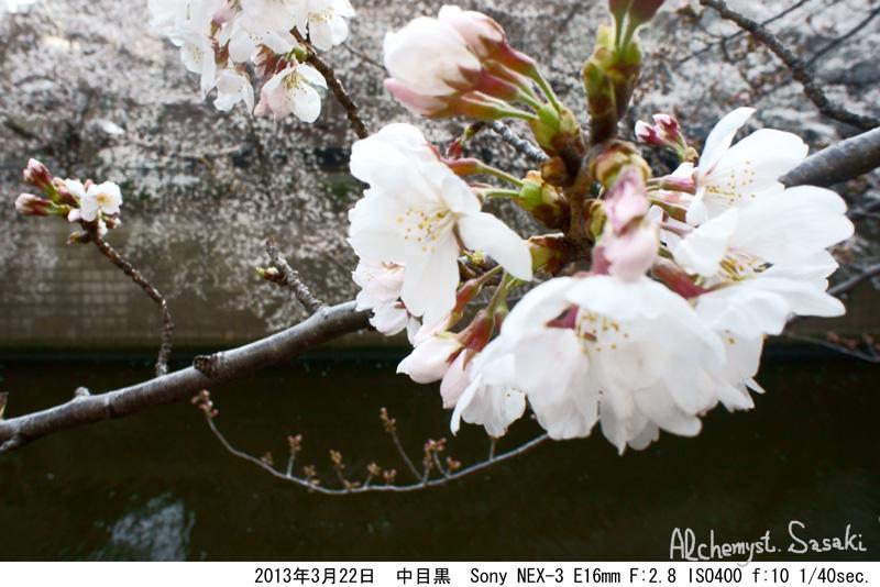 2013年桜DSC04969