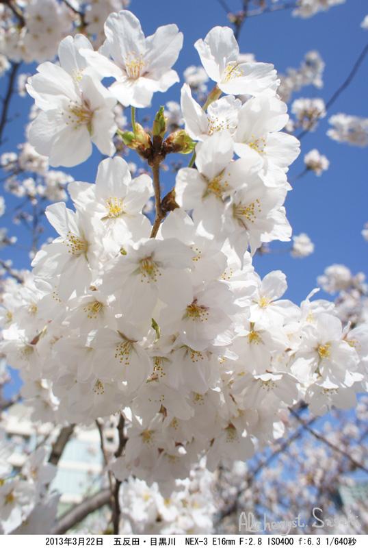 桜2013年DSC04832