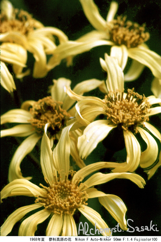 1968年夏 蓼科の花-5