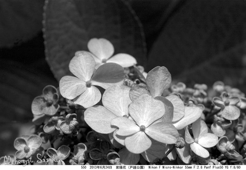 紫陽花550-35