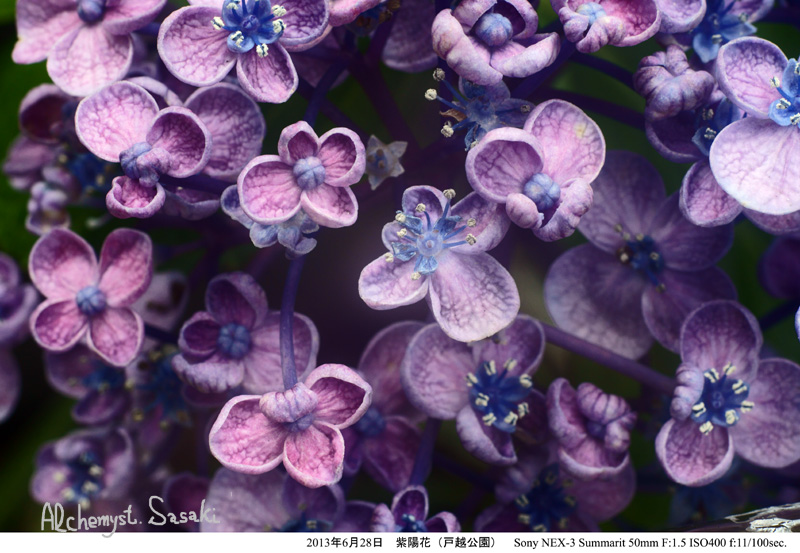 紫陽花DSC07574
