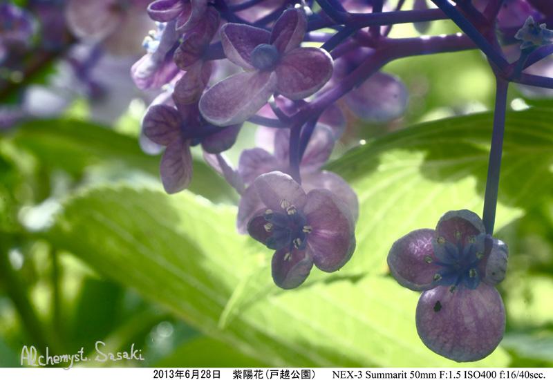 紫陽花DSC07605