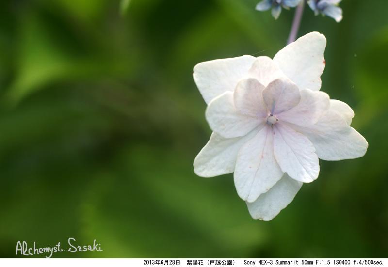 紫陽花SummaritDSC07651
