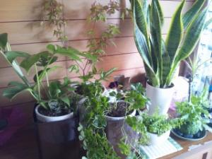 植物を鉢植えした