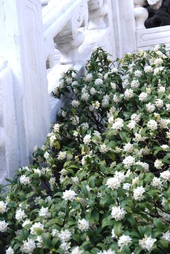 関帝廟の沈丁花
