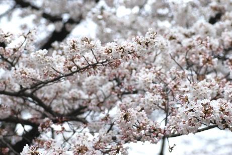 20100331小石川植物園・ソメイヨシノ