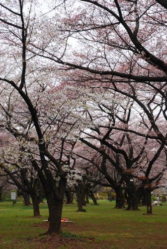 小石川植物園・桜園