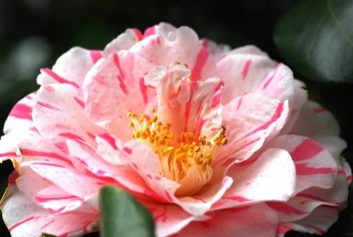 201004小石川植物園ツバキ