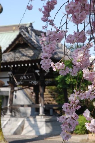 201004お寺のしだれ桜