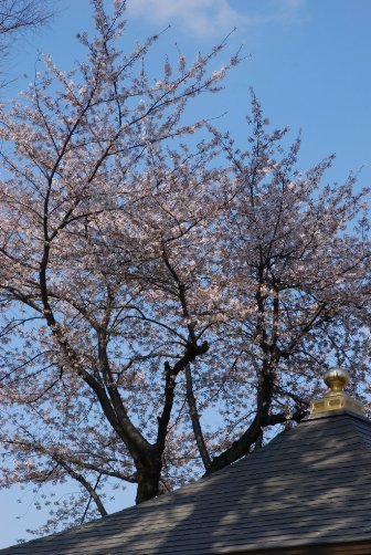 201004お寺の屋根と桜