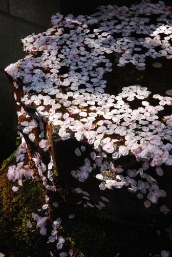 201004手水鉢の花びら