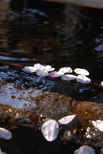 201004手水の花びら