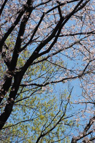 201004桜と新緑