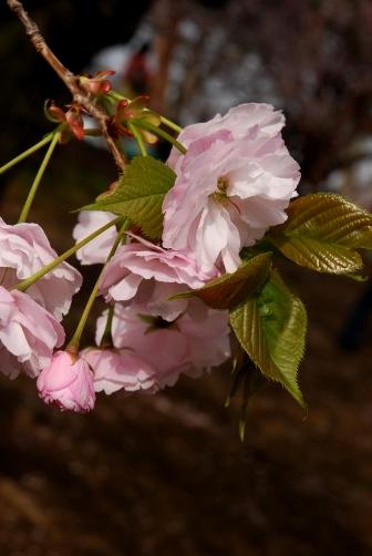 201004御苑の八重桜