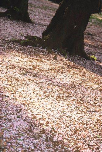 201004御苑・花びらの絨毯