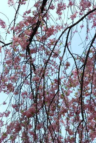 201004枝垂れ桜ももう終わり
