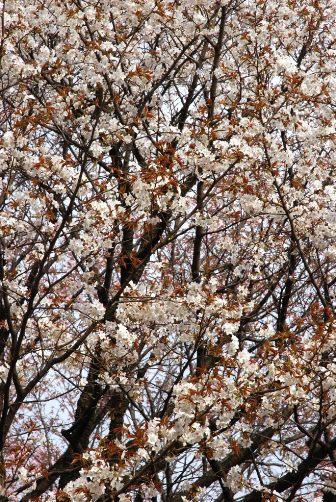 201004御苑の山桜