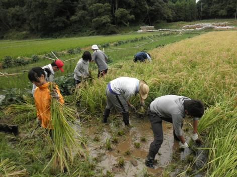 2010稲刈り3