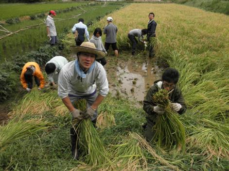 2010稲刈り5