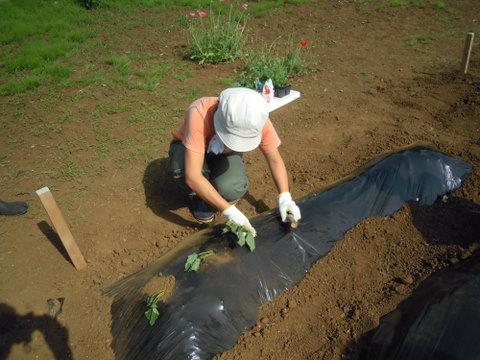午後はいよいよ種まき・植え付け。こちらはサツマイモ。