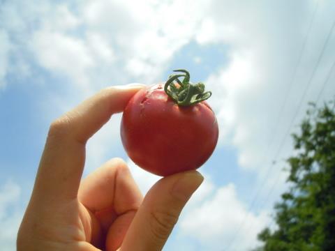 トマトと青い空。
