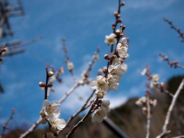 上滝沢ヤマメの里梅園 梅