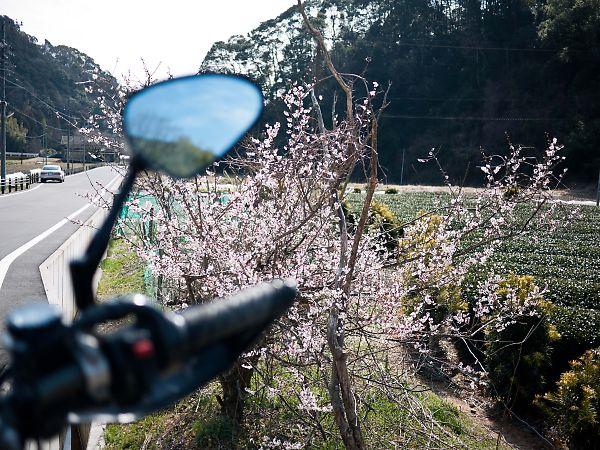 柿の木坂の家 桜