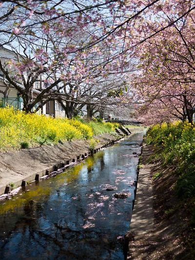 焼津の河津桜