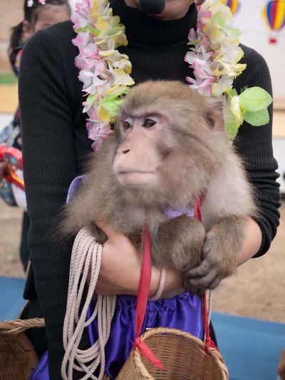 河津 桜まつり2013最終日ハイブリット猿回し