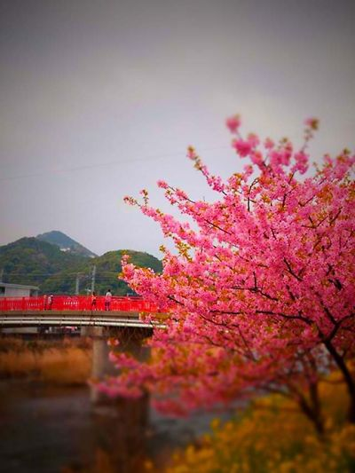 河津 桜まつり2013最終日