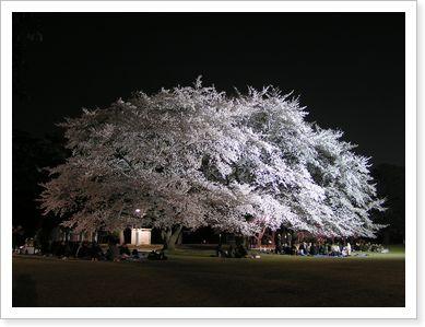 稲荷山公園の夜桜