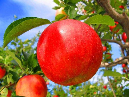 りんご近況2007・10