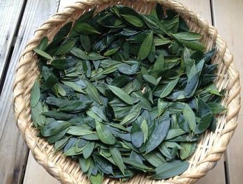 オリーブ葉 乾燥
