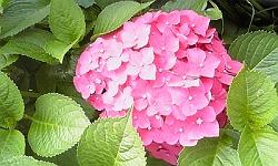 sピンク紫陽花
