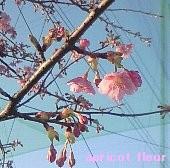 11年早咲き桜