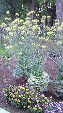 11年葉ボタンの花