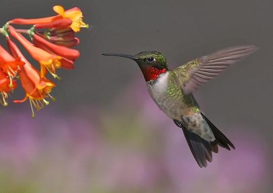 hummingb.jpg