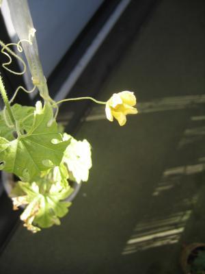 ニガウリの花