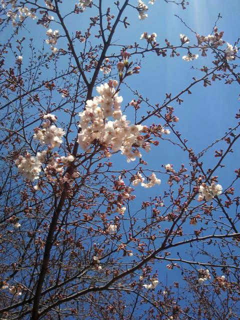20110401sakura.jpg