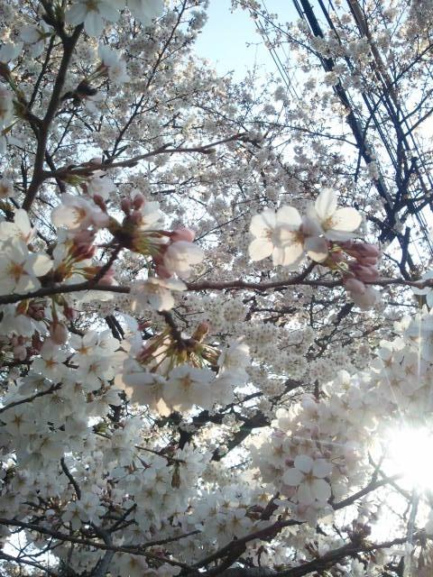 4月6日の桜1