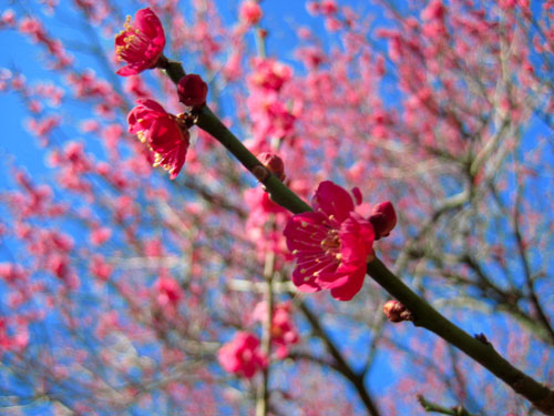 3/17の梅の花