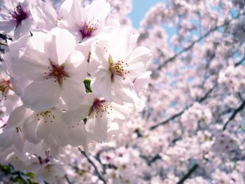 sakura-3.jpg