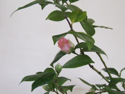 つばき 鉢植え2
