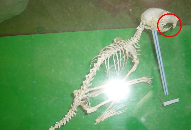 リスの骨格