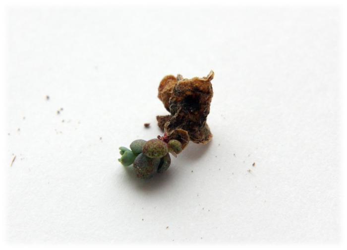 20130327葉挿し斑入りミセバヤ[1]