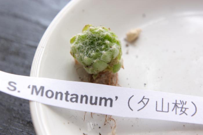 20130604 Montanum(夕山桜)[1]
