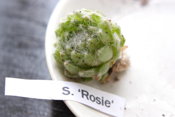 20130604 Rosie[1]