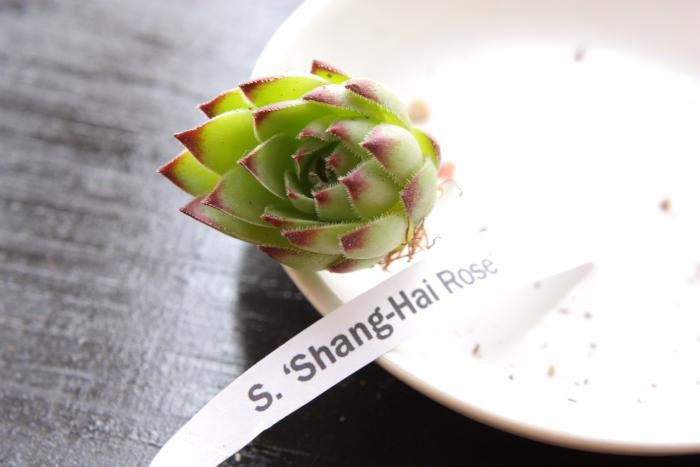 20130604 Shang-Hai Rose[1]