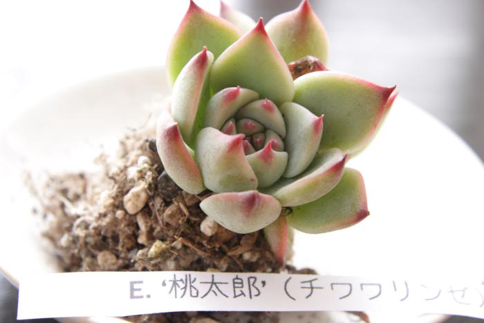 20130604桃太郎[1]